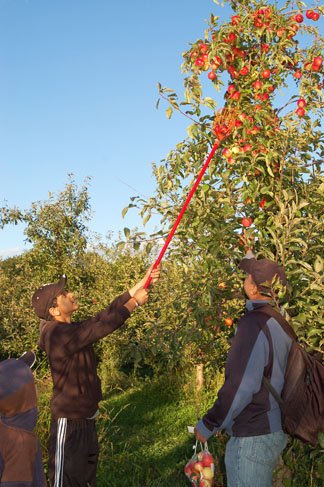 Ashish Ashok (12) picks some apples as he father, Sharma, looks on. The Ashoks came out to All Seasons from Buffalo Grove.