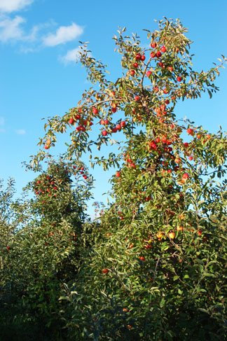 The apples are ripe for pickin' in Northern Illinois and Southern Wisconsin.