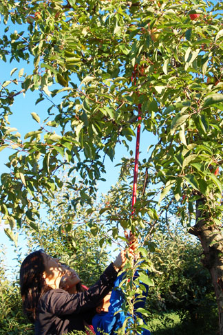 ... the Kangs, also of Buffalo Grove, pick some apples, too.